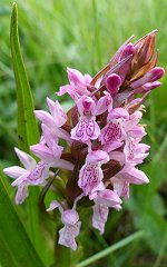 Early Marsh Orchid spike