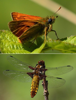 Large Skipper and Broad-bodied Cahser