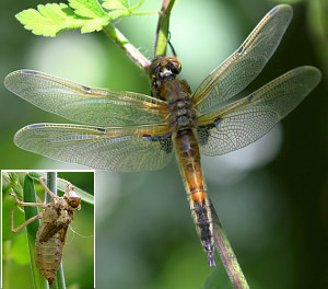 Four=spotted Chaser