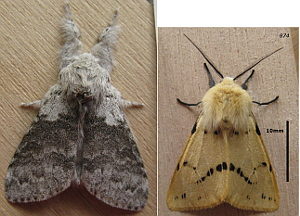 Pale Tussock and Buff Ermine moths